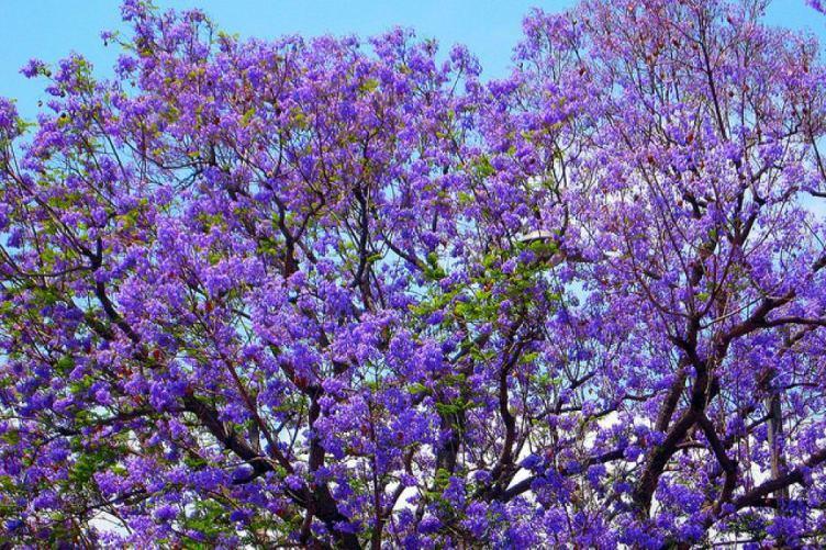jackaranda tree